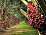 """Пальмовое масло """"Малазия"""" (Palm oil) - фото 3"""