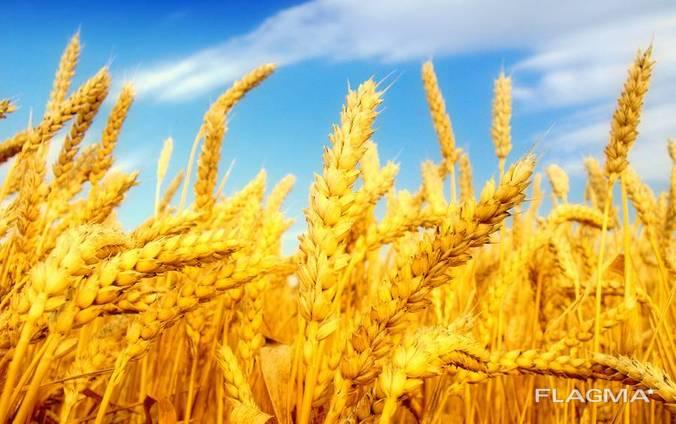 Пшеница, 2-й, 3-й класс, 183-187$ FOB Бердянск.